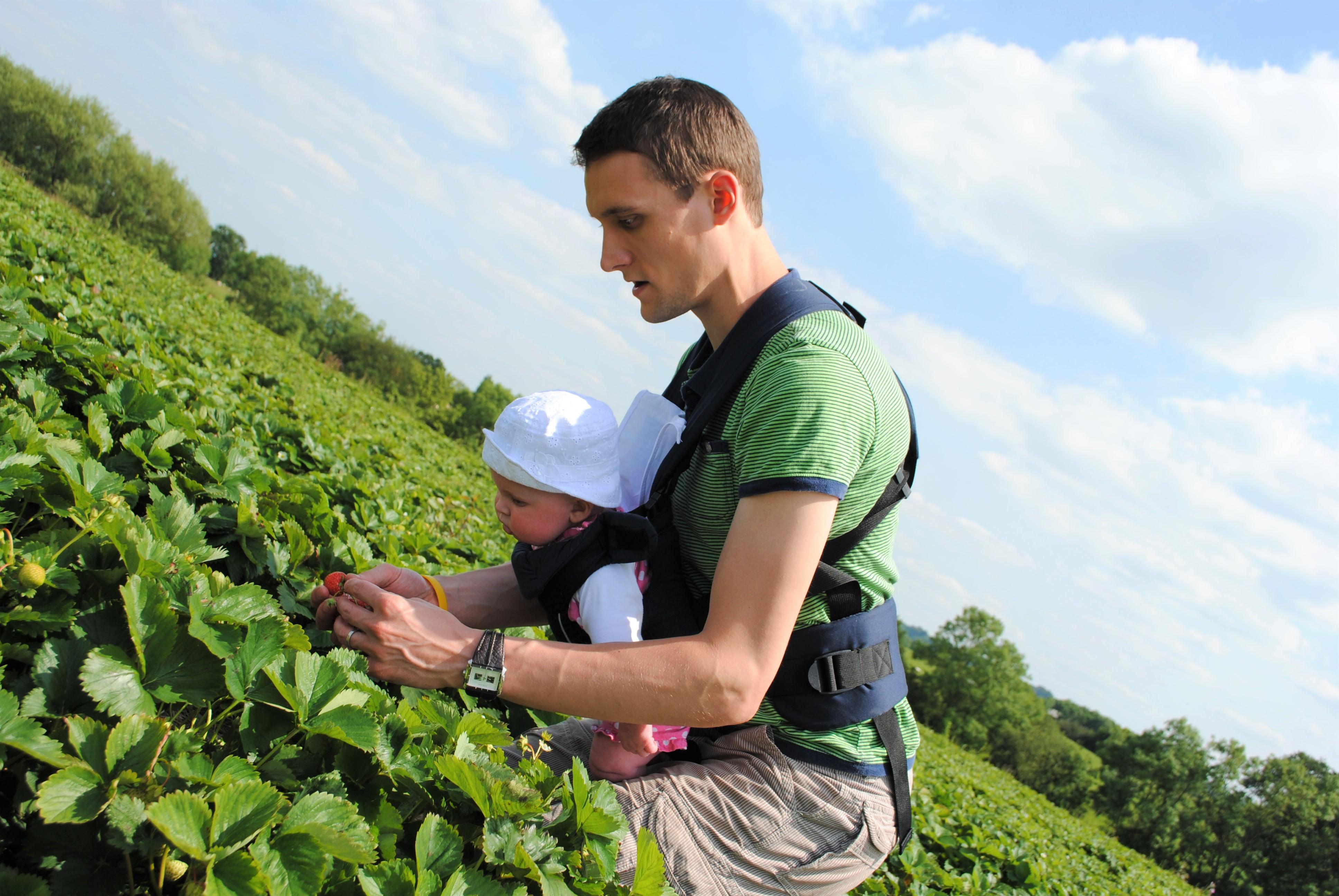 Strawberry picking Scaddows Derbyshire