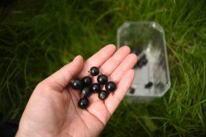 Scaddows blackcurrants