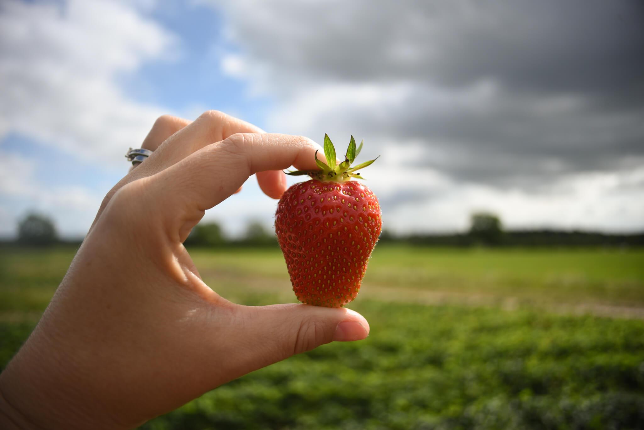 Scaddows strawberry picking